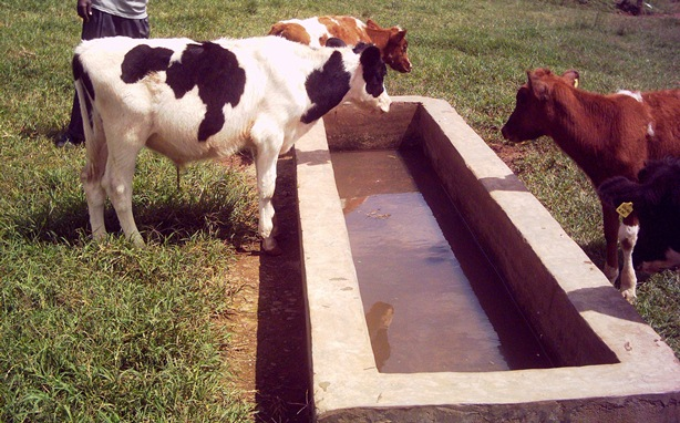 Livestock Kenya - How to boost milk production in cows
