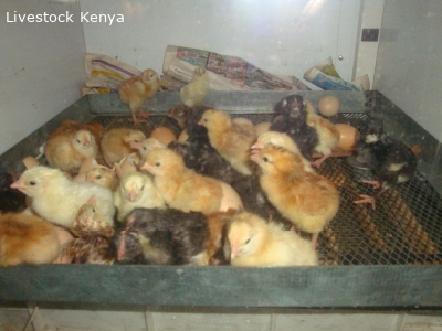 Day old to month old improved kienyeji chicks