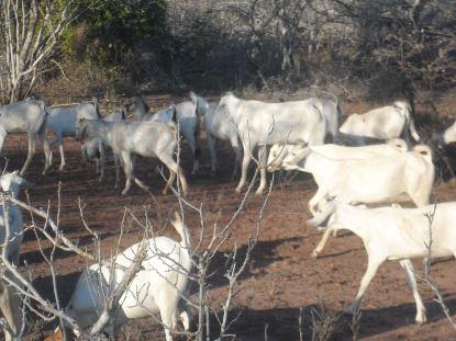 Livestock Kenya - Meat goat breeds in Kenya