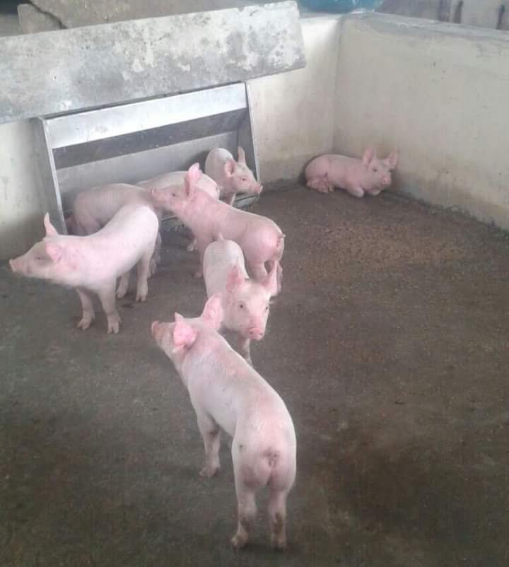 Livestock Kenya - Formulating feed rations for pigs